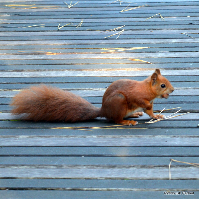 red squirrel tresco